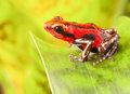 Red strawberry poison dart frog tropical amphibian from jungle of panama these rain forest animals are poisonous pets kept in a Royalty Free Stock Photography