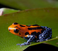 Red striped poison dart frog blue legs Royalty Free Stock Photos