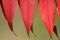 Red sumac leaves in autumn close up of on a sunny day Stock Images