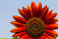 Red sunflower against blue sky Royalty Free Stock Images