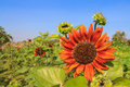 Red sunflower against blue sky Stock Photography