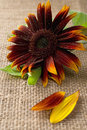 Red sunflower beautiful on burlap Royalty Free Stock Images