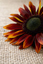 Red sunflower beautiful on burlap Royalty Free Stock Photo