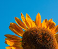 Red sunflower in a field Stock Image