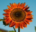 Red sunflower in a field Stock Photography