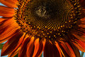 Red sunflower Royalty Free Stock Photo