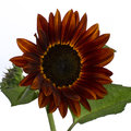 Red sunflower helianthus annuus with rich wine colored petals with a hint of yellow Stock Images