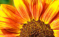 Red Sunflower Macro Royalty Free Stock Photo