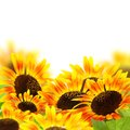 Red sunflowers on a white background Stock Photography