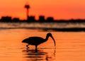 Red sunset bird silhouette beach Royalty Free Stock Photo