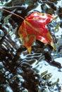 Red Sweetgum Leaf In Shallow W...