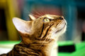 Red tabby cat in profile close up looking on blurred background Royalty Free Stock Photos