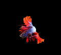 Red tail and fin thai siamese betta fighting fish show beautiful of full body isolated on black background Royalty Free Stock Photo