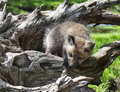 Red tail fox kit playing on an old tree root springtime in wisconsin Stock Image