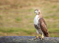 Red-tail Hawk Royalty Free Stock Image
