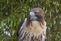 Red tail hawk Royalty Free Stock Photo