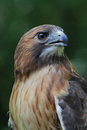 Red tail hawk close profile this is henna the educational tailed at a wildlife rehabilitation center in illinois i was introduced Stock Images