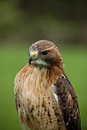 Red tail hawk close up portrait of a tailed Stock Photos