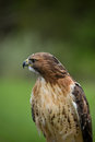 Red tail hawk close up portrait of a tailed Royalty Free Stock Photography
