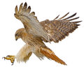 Red tail hawk landing attack draw on white vector.