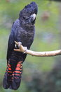 Red tailed black cockatoo the sitting on the branch Royalty Free Stock Photography