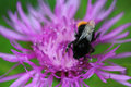 Red tailed bumblebee Royalty Free Stock Photo
