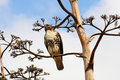 Red-Tailed Hawk Royalty Free Stock Photo