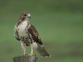 Red tailed hawk Stock Images