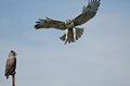 Red Tailed Hawk Attacking Artificial Owl Stock Image