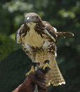 Red tailed hawk (buteo jamaicensis) Stock Photography