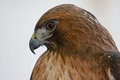 Red tailed hawk buteo jamaicensis at ojai raptor rehabilitation center in california Stock Photo