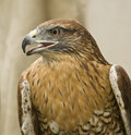 Red-Tailed Hawk, California Stock Images