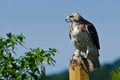 Red tailed hawk with captured prey on fence post Stock Image