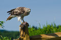 Red tailed hawk with captured prey a hungry Stock Photos