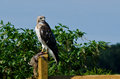 Red tailed hawk with captured prey sitting in a fence Stock Photography