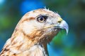 Red tailed hawk close portrait of buteo jamaicensis Stock Images