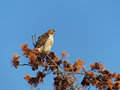 Red tailed hawk in dried pine tree a profile view of a a Stock Photography