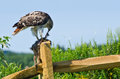 Red tailed hawk eating captured rabbit on a fence Royalty Free Stock Photo