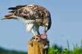 Red tailed hawk eating captured rabbit on a fence post Stock Photography