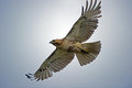 Red tailed hawk in flight with glow Stock Photography