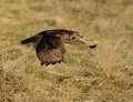 Red tailed hawk a in flight low over a brown grass field in winter hunting for voles Stock Images