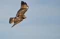 Red Tailed Hawk Flying In a Blue Sky Stock Photos