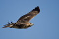 Red-Tailed Hawk Flying in Blue Sky Stock Photo