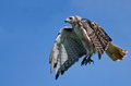 Red tailed hawk flying in a blue sky showing talons Stock Image
