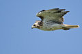 Red tailed hawk flying in a blue sky on sunny day Stock Photos