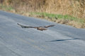 Red-Tailed Hawk Flying Down Highway Stock Photos