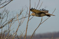 Red-Tailed Hawk Flying with Fingertips Flared Royalty Free Stock Photography
