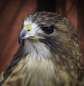Red tailed hawk front view of a buteo jamaicensis looking to the side Stock Photo