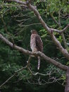 Red-tailed Hawk on green Stock Photos