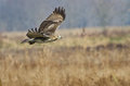 Red-Tailed Hawk Hunting in The Marsh Stock Images